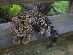 Margay cat, very rare, often confused with ocelot. ---this is the only cat whose hind legs rotate 180 degrees, allowing them to run headfirst down trees. Pretty Cats, Beautiful Cats, Animals Beautiful, Pretty Kitty, Beautiful Babies, Cute Baby Animals, Animals And Pets, Funny Animals, Wild Animals