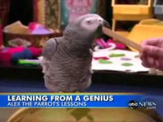 Alex the parrot was a genius involved into years of resurch into animal intelligence.His cognictive abilities were established to be equal to those of a human child in preschool.This teaching method helped many many kids already. Alex - African Grey