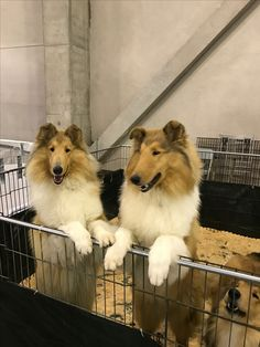 Marnus Collies At the CCA 2017 National Show