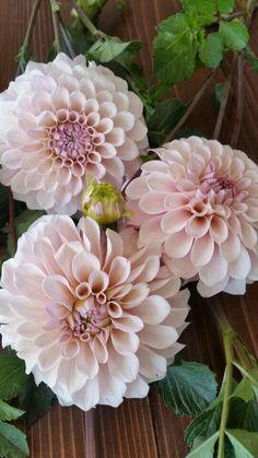 Sweet Nathalie Dahlia, a great alternative to Cafe au Last Cut Flower Garden, Flower Farm, My Flower, Flower Pots, Cut Flowers, Pink Flowers, Beautiful Flowers, Rare Flowers, Beautiful Gardens