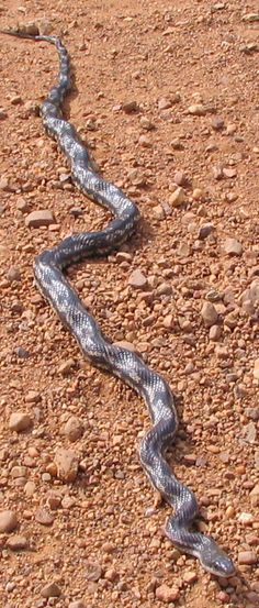 Texas Rat Snake; Average Size: 42 to 72 inches (good reference - LS)