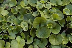 dichondra. Bay Area native ground cover plant.