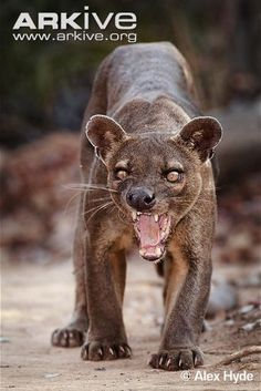 Fossa snarling -Fossa is a cat-like, carnivorous mammal endemic to Madagascar. It is a member of the Eupleridae, a family of carnivorans closely related to the mongoose family (Herpestidae).