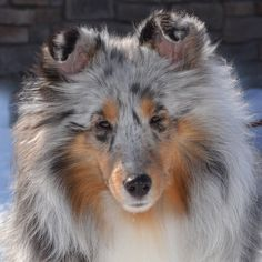 The Shetland Sheepdog originated in the and its ancestors were from Scotland, which worked as herding dogs. These early dogs were fairly Rough Collie, Collie Dog, Pet Dogs, Dogs And Puppies, Sheep Dogs, Doggies, Cute Dogs Breeds, Dog Breeds, Beautiful Dogs