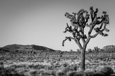 https://flic.kr/p/MwQCho | Joshua Tree