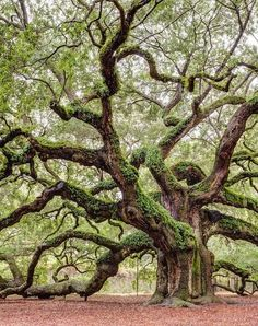 20 Real-World Places That Are Straight Out of Fairy Tales Angel Oak: Charleston, South Carolina<br> Happily ever after is just a plane ride away. Nature Pictures, Beautiful Pictures, Angel Oak Trees, Tree Angel, Magical Tree, Old Trees, Old Oak Tree, Unique Trees, Tree Roots