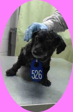 ❥★❥RESCUED❥★❥ ~ Animal ID #A443650  I am a Female, Black Miniature Poodle - mix. My age is unknown. I have been at the shelter since September 24, 2015.  Harris County Public Health and Environmental Services  Telephone ‒ (281) 999-3191 612 Canino Road  Houston, TX https://www.facebook.com/OPCA.Shelter.Network.Alliance/photos/pb.481296865284684.-2207520000.1443224614./899788570102176/?type=3&theater