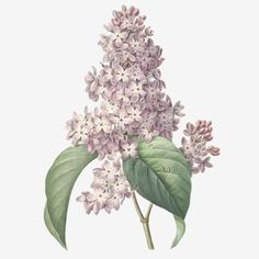 Nature, botanical print, flower poster art of Lilac Art Print by Vintagelite - X-Small Purple Flower Bouquet, Lilac Flowers, Vintage Flowers, Botanical Wall Art, Botanical Drawings, Botanical Prints, Art Floral, Illustration Botanique, Illustration Blume