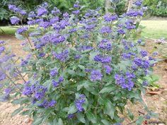 Caryopteris Inoveris Grand bleu - ...