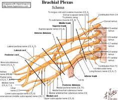 Anatomia del plexo braquial.