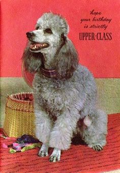 1960's Poodle Card