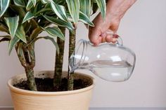 How to stop HOUSEPLANT HOMICIDE! The 4 most common causes for houseplants to die - watering, light, temperature, and humidity. Venus Fly Trap Care, Best Air Purifying Plants, Low Light Plants, Indoor Plant Pots, Bedroom Plants, Water Plants, Potted Plants, Grow Lights, Flowers