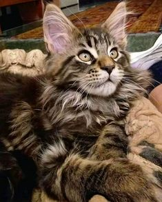 Looks like Beau Types Of Animals, Animals And Pets, Cute Animals, Silly Cats, Crazy Cats, Maine Coon Kittens, Cats And Kittens, Dog Facts, Norwegian Forest Cat