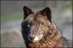 Bei diesem sonnigen Wetter darf es auch auf dem Foto sommerlich daherkommen...    der Halbstarke Timberwolf genoß die Sonnenstrahlen jedenfalls sichtlich...   WP Lüneburger Heide/ Nindorf