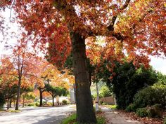 Imagine you come out of your home sweet home, greeted by the cool fresh Melbourne air, and an avenue of Pin Oaks showcasing their brilliant bronzy red autumn colours along your street. That's a good quality of life is isn't it? • • Botanically classified as Quercus palustris, Pin oak is one of the most commonly used landscaping oaks in its native range due to its ease of transplant, relatively fast growth, and pollution tolerance. Native to Central and Eastern America, its distinctive shape…