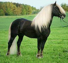 Black Forest Horse stallion, Rubin.
