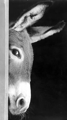 Sneaky Donkey or a Bashful Burro.he's cute : ) Farm Animals, Animals And Pets, Funny Animals, Cute Animals, Wild Animals, Beautiful Creatures, Animals Beautiful, Photo Animaliere, Tier Fotos