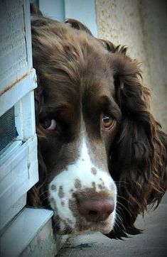 In the dog house - English Springer Spaniel I know this expression sooo well! Chiots Springer Spaniel, Perro Cocker Spaniel, Springer Spaniel Puppies, English Springer Spaniel, Cute Puppies, Cute Dogs, Dogs And Puppies, Doggies, Corgi Puppies