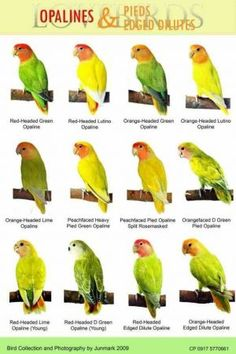 African Lovebirds Mutations Bird › animals