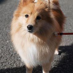 . . . . #ゆず #犬 #愛犬 #dog #doglover #dogstagram #all_dog_japan #犬ばか部 #ふわもこ部 #ハーフ犬 #ミックス犬 #ポメ #ポメラニアン #pomeranian #シェルティ #シェルティー #シェットランドシープドッグ #sheltie #shetlandsheepdog #todayswanko #bestwoof #lumix #ミラーレス #ミラーレス一眼 #ミラーレスカメラ #写真すきな人と繋がりたい #写真好きな人と繋がりたい #9Vaga_Pets9 #7pets_1day #9Vaga9_Vision