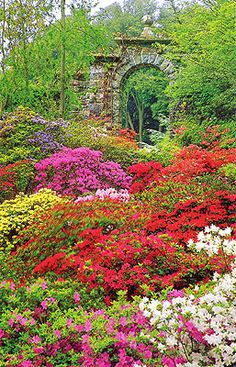 Azaleas and Rhododendrons, will be in bloom in about a week in the Midwest regions so plant now to enjoy a garden of blooms!