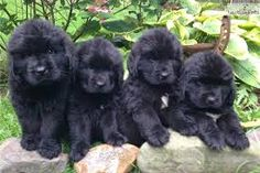Afbeeldingsresultaat voor newfoundland puppies