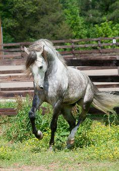 lusitano horses | lusitano-horses-2