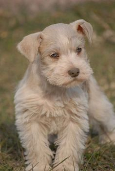 Parti-Colored Schnauzer | Akc Toy Schnauzers Rare Colors Liver Parti, Liver Pepper, And Salt And ...