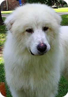 9/14/15 Yardley, PA - Great Pyrenees Mix. Meet Abe Lincoln, a dog for adoption. http://www.adoptapet.com/pet/13827396-yardley-pennsylvania-great-pyrenees-mix