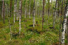 Koivikkoräme - koivikko räme koivuräme tupasvilla metsä vihreä kesä suo märkä