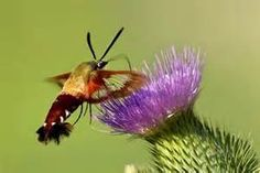 hummingbird moth - Search