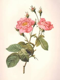 """LARGE 11 1/4""""  X 8 3/4"""" Vintage Redoute Rose, Flower Print, Botanical Illustration ready to frame book lithograph plate"""