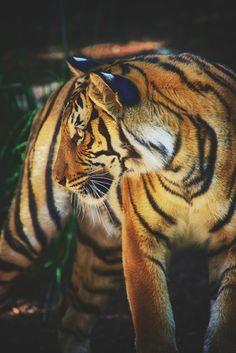 ikwt:    Golden Tiger Cub (patrick strock)|instagram
