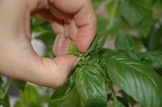 Ten Mistakes New Herb Gardeners Make (and How to Avoid Them!) - great tips!