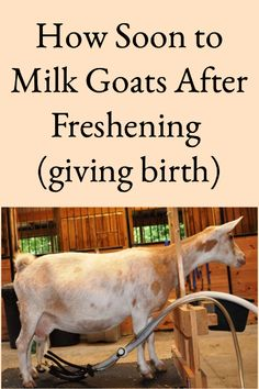 Worldwide, goat milk is the most highly consumed form of milk and, amidst the varying dairy goat types; Nigerian Dwarf goat milk is increasingly popular. But why is goat milk and Nigerian Dwarf goat milk in particular so popular? Feeding Goats, Raising Goats, Cattle Farming, Goat Farming, Livestock, Goat Fence, Goat Milk Recipes, Goat Shelter, Goat Barn