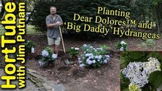 Planting Dear Dolores™ and 'Big Daddy' Hydrangeas💙🌸 - In this video I plant 2 Dear Dolores™ and 2 'Big Daddy' Hydrangeas in my landscape. Planting In Sandy Soil, Planting In Clay, Giant Flowers, Colorful Flowers, Soil Ph, Big Daddy, Garden Plants, Bloom, Shit Happens