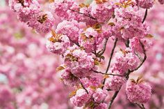 Top 6 Pink and White Spring-Blooming Trees - Birds and Blooms ~~~~Japanese flowering Cherry Pink Flowering Trees, Flowering Bushes, Trees And Shrubs, Spring Blooming Trees, Spring Blooms, Spring Flowers, Eastern Redbud Tree, Fringe Tree, Tree Id