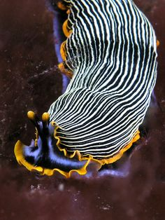 Marine Invertebrates of East Timor: nudibranch (Armina sp.) (photo: Nick Hobgood)