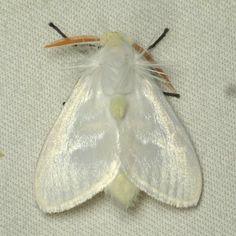 White Flannel Moth, Norape virgo