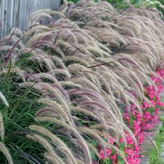 Pennisetum advena ;Rubrum Purple fountain grass is an ornamental, perennial grass with burgundy coloured foliage and arching purple-pink foxtail-like flowers during summer. Once established will tolerate high temperatures, humidity, wind, drought and is able to withstand l...