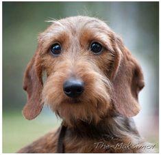 Mirada #dachshund