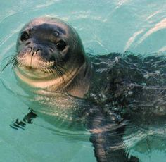 mediterrean animals | The Mediterranean Monk Seal, another of the planet's most endangered ...