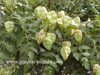 Koelreuteria paniculata 'Rosseels'