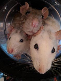 Ratties!!!