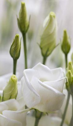 White bell shaped flowers...Eustoma aka...lisianthus...Beautiful.