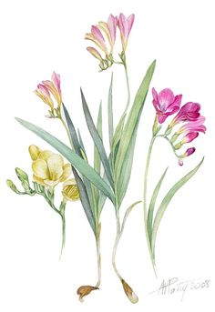 Lovely watercolour art from Anne Marie Patry-Belluteau - botanical painting of freesia.