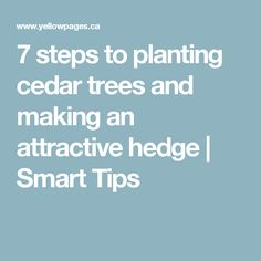 7 steps to planting cedar trees and making an attractive hedge   Smart Tips