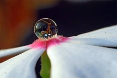An ant in a droplet on a flower. - Imgur