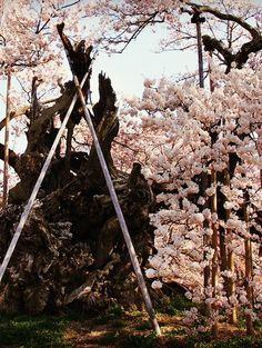 山高神代桜 #sakura #CherryBlossom