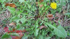 Kemoterapiden 100 kat daha etkili inanılmaz bitki bahçelerde yol kenarlarında kendi kendine yetişiyor.